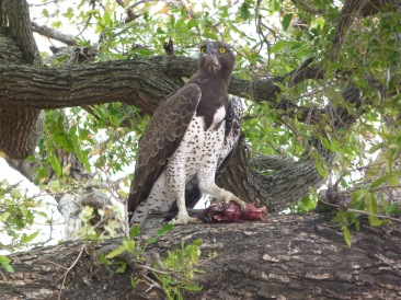 A rare close-up of the impressively powerful martial eagle